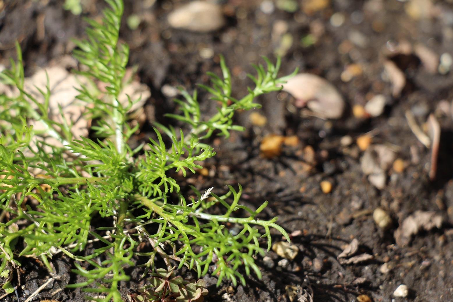 カモミールの芽がでました