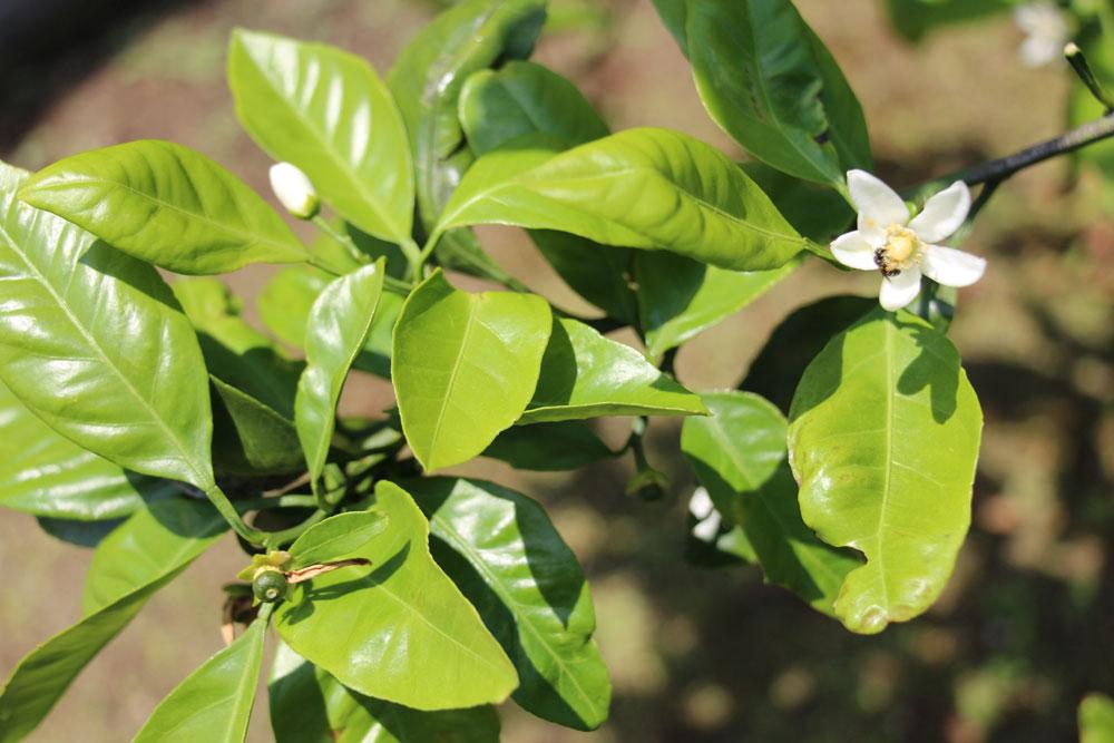 mikanflower