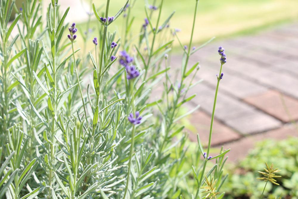 lavender-autumn