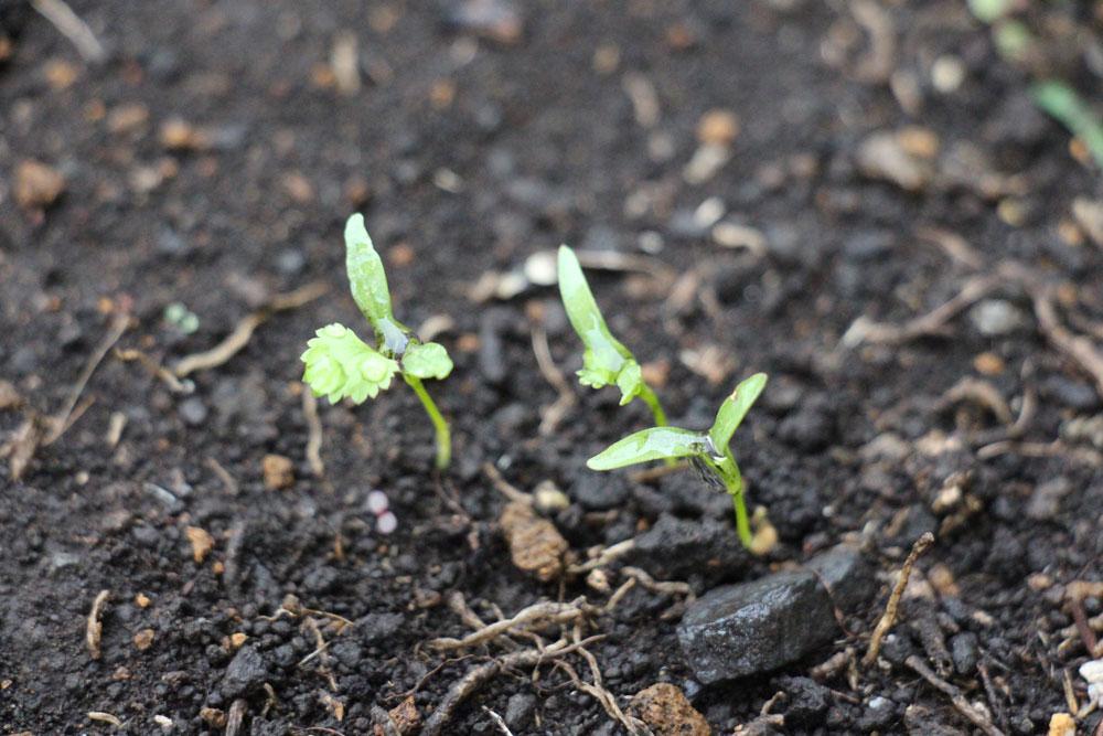 coriander-sprout