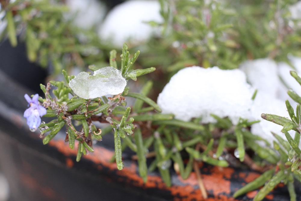 rosemary-snow