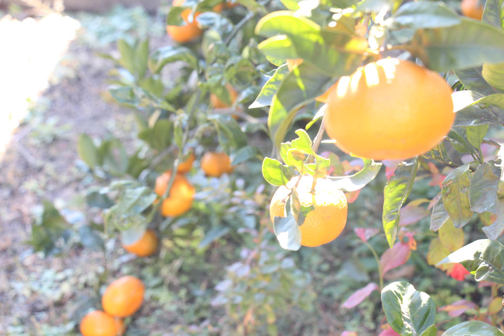 mikan-fruit