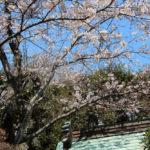 江の島の桜