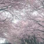 まだまだ桜が