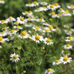 カモミールとタイムの花
