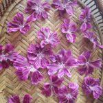 ブルーマロウの収穫と水色(すいしょく)について