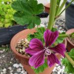 ブルーマロウと葵の関係